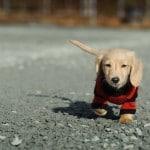 Quel est l'intérêt d'habiller son chien ?