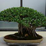 Comment entretenir un Ficus bonsaï facilement ?