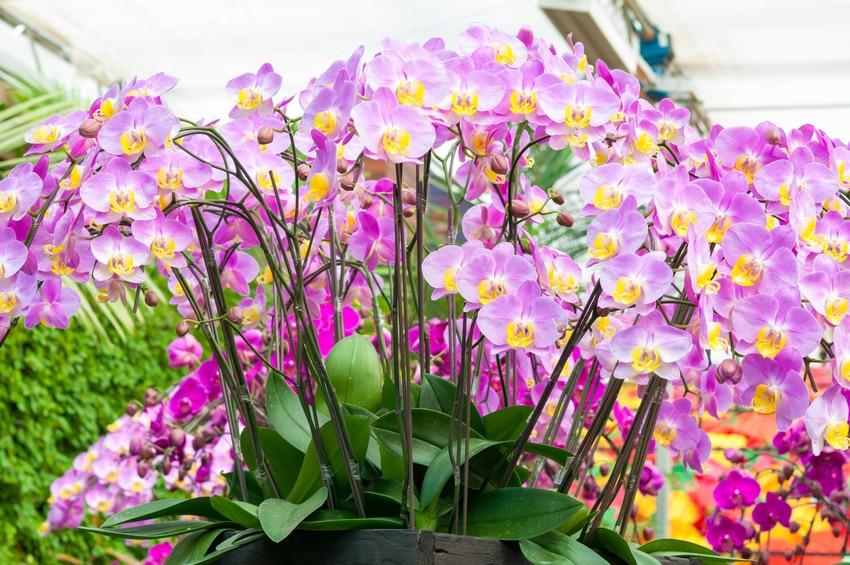 Comment choisir une orchid e en bonne sant - Comment couper orchidee apres floraison ...
