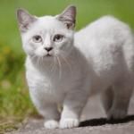 Quelles sont les origines du chat Munchkin ?