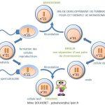 Quelles sont les conséquences d'une anomalie chromosomique ?