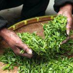 Comment savoir si un thé vert est de bonne qualité ?