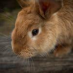 Quel est le meilleur site pour tout savoir sur les lapins nains ?